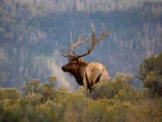 Calling Elk In Different Directions