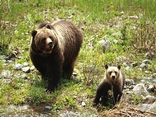 Yellowstone Officials Capture Second Cub of Suspect Grizzly Killer