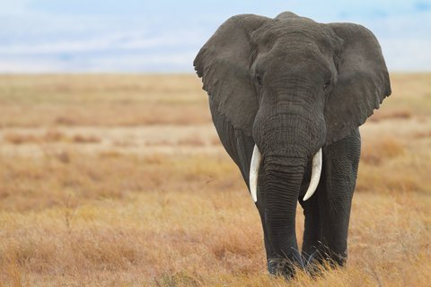 African Elephant Tramples Hunter