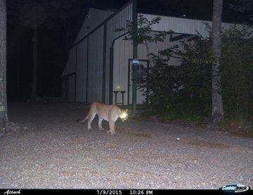 Cougars Are on the Rise in Wisconsin