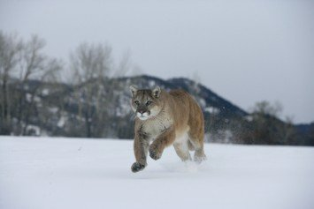 Why Winter is the Best Time to Spot Mountain Lions