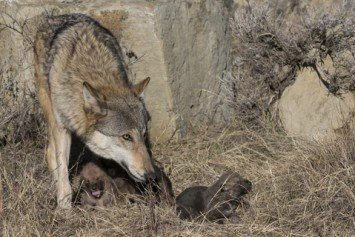 Oregon Wolf Population Grows After Years of Decline