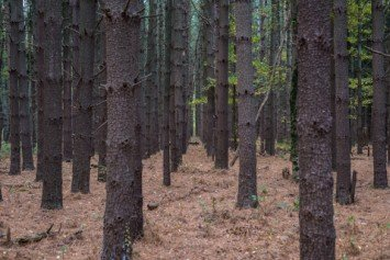 Pine Trees as Survival Food?