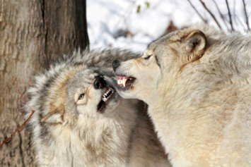 Wolf Attacks in Oregon and Montana Spark Calls for Lethal Action