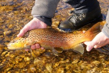 Tried and True Methods for Fishing Brown Trout