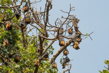 Bats Overtake Aussie Town like in the Bible