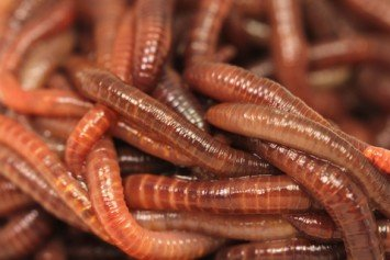 4 Reasons Why Worms are the Best Bait for Freshwater Fish