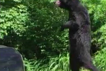Pedals the Bear Resurfaces in New Jersey