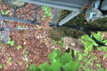 Bobcat Scales Hunter's Tree Stand
