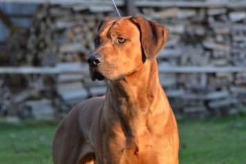 How to Train a Lion Hunting Dog