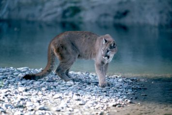 Mother Credits Miracle in Mountain Lion Attack on Young Daughter