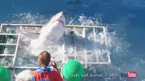 Great White Breaches Shark Cage in Mexico