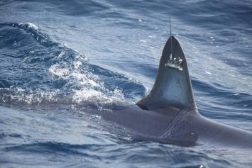 Tagged Sharks Shed Light on Movement in Atlantic