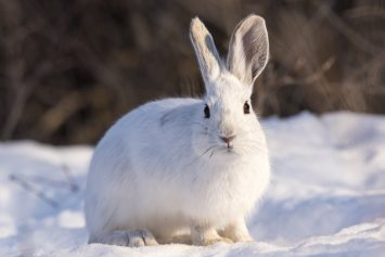 5 Tips for Hunting Snowshoe Hare