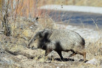 7 Things to Know about Hunting Javelina