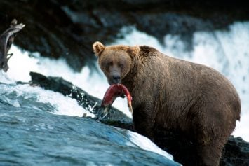 Grizzly Still On The Loose After Killing A Camper