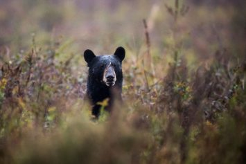 Maryland's Black Bear Hunt Lottery Is Now Open