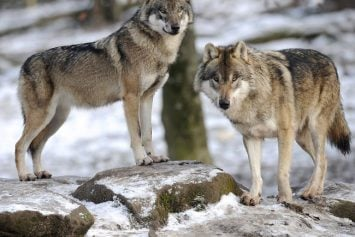 Tribal Leaders Speak Out Against Wolf Hunting Laws